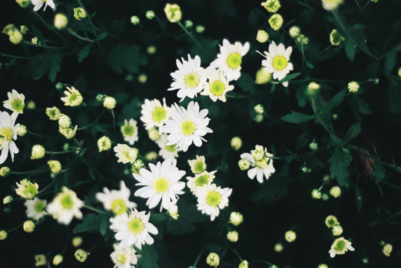 Hoa xuyến chi ảnh đẹp