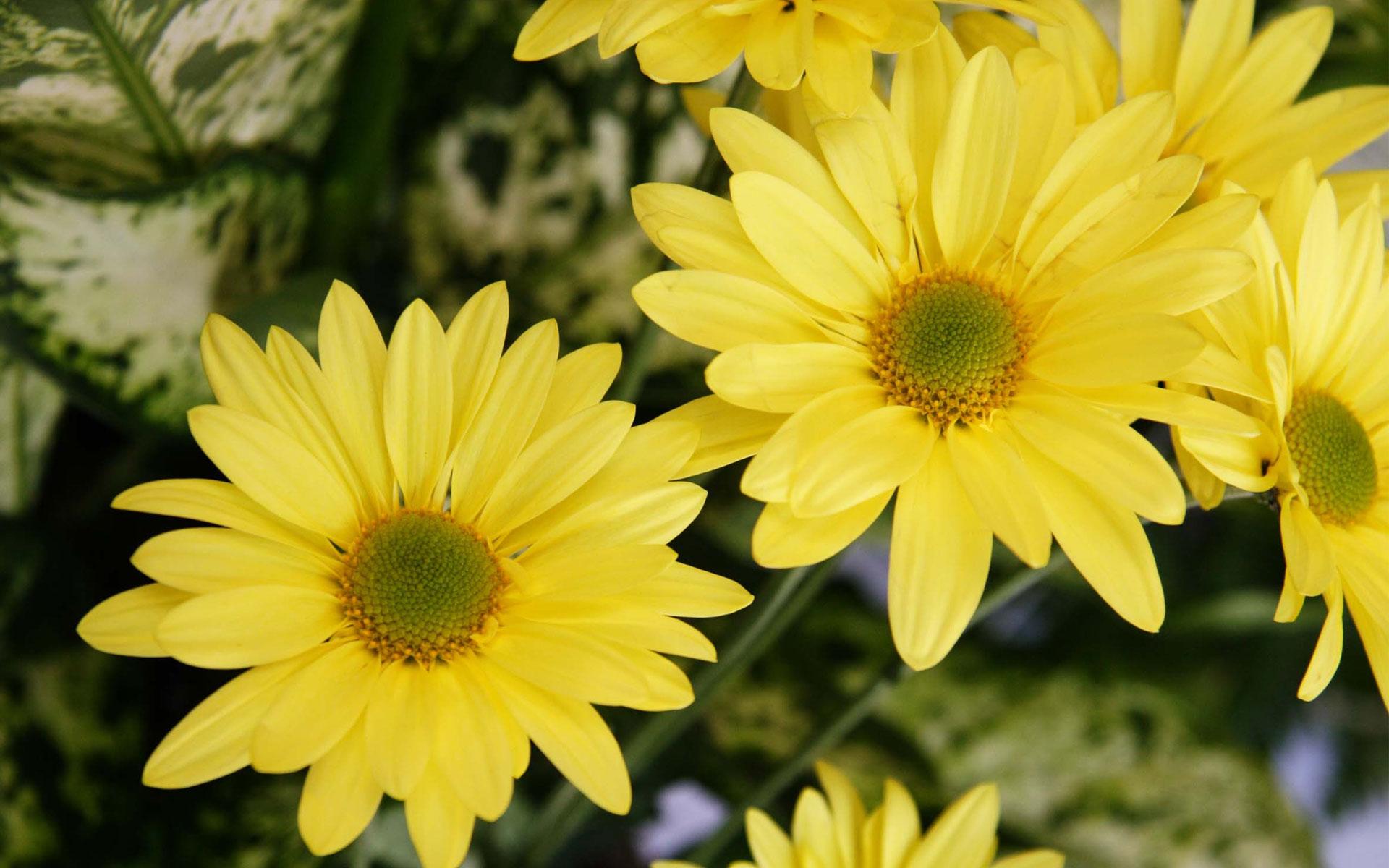 Hoa xuyến chi ảnh nền đẹp nhất