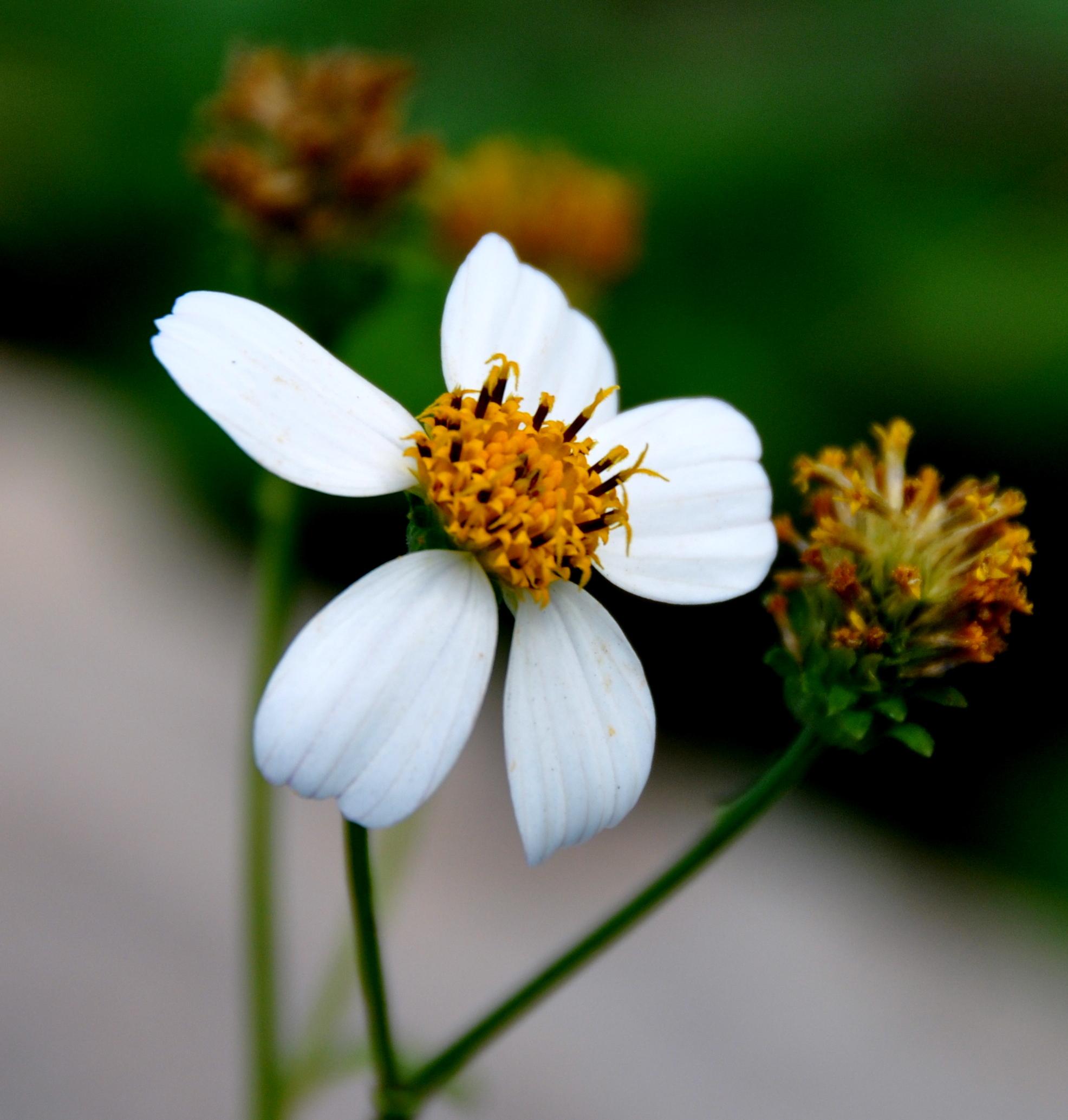 Hoa xuyến chi là hoa gì và hình ảnh đẹp nhất