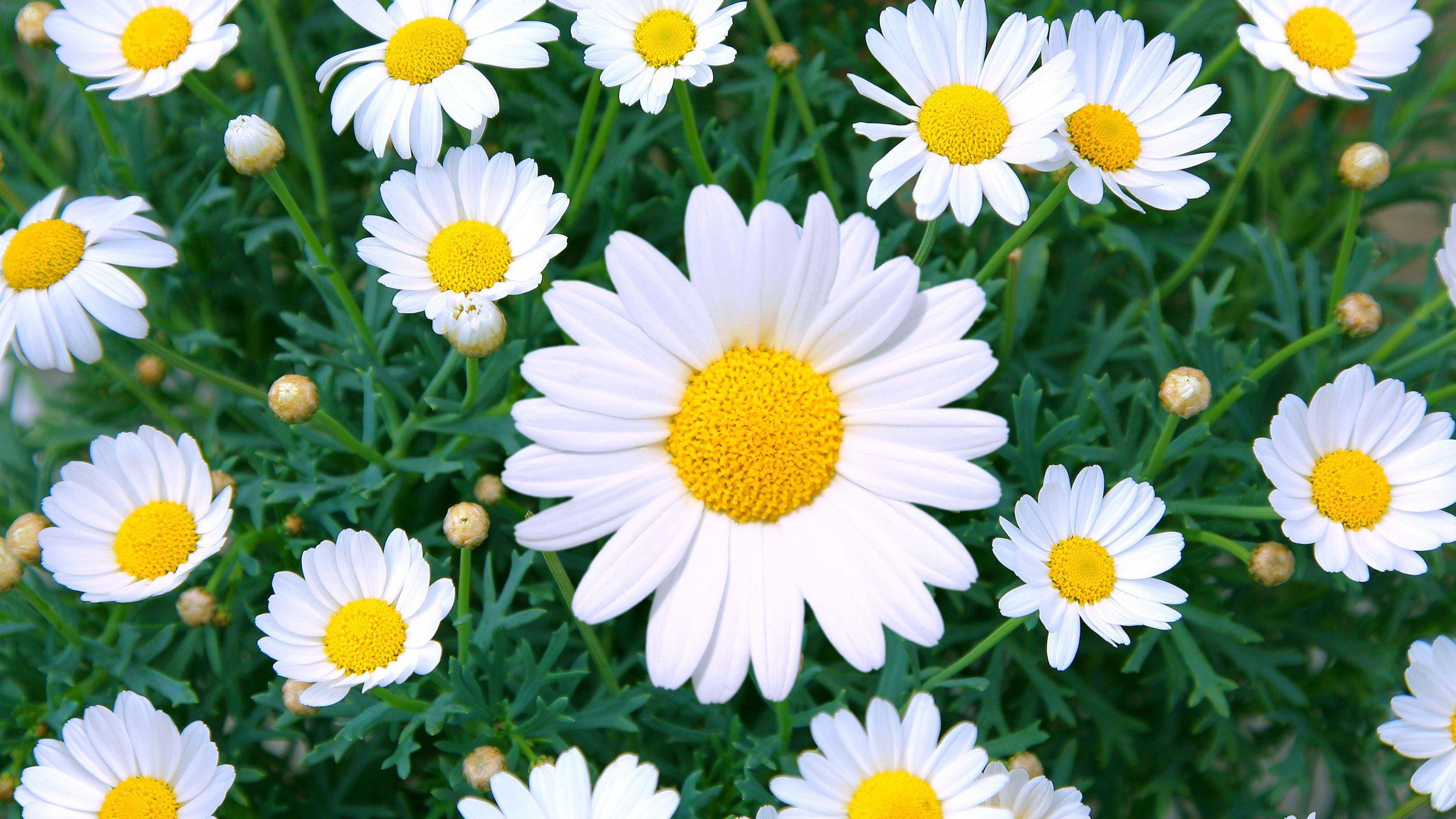 Tải hình ảnh hoa xuyến chi đẹp về máy
