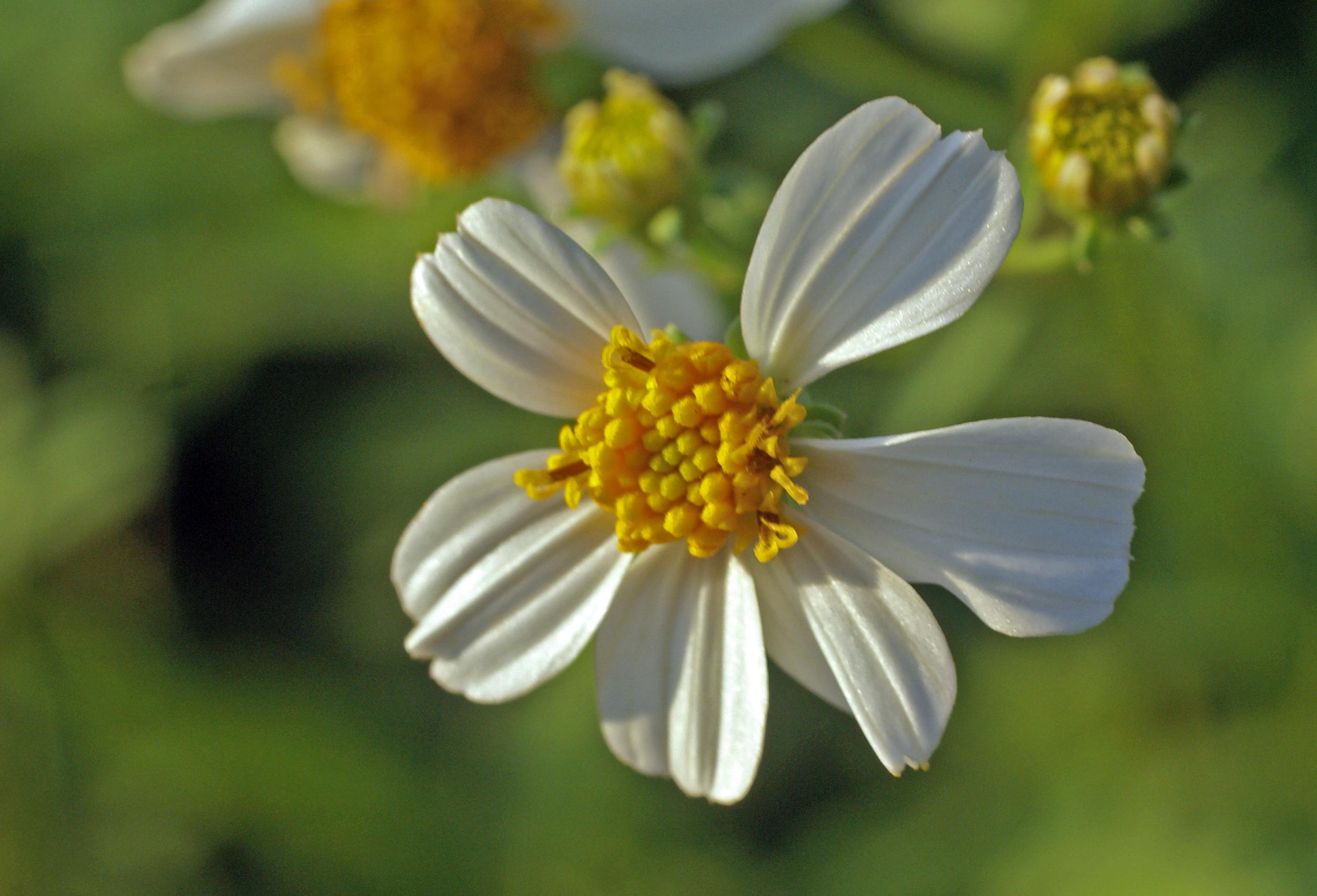 Tổng hợp những hình ảnh hoa Xuyến chi đẹp