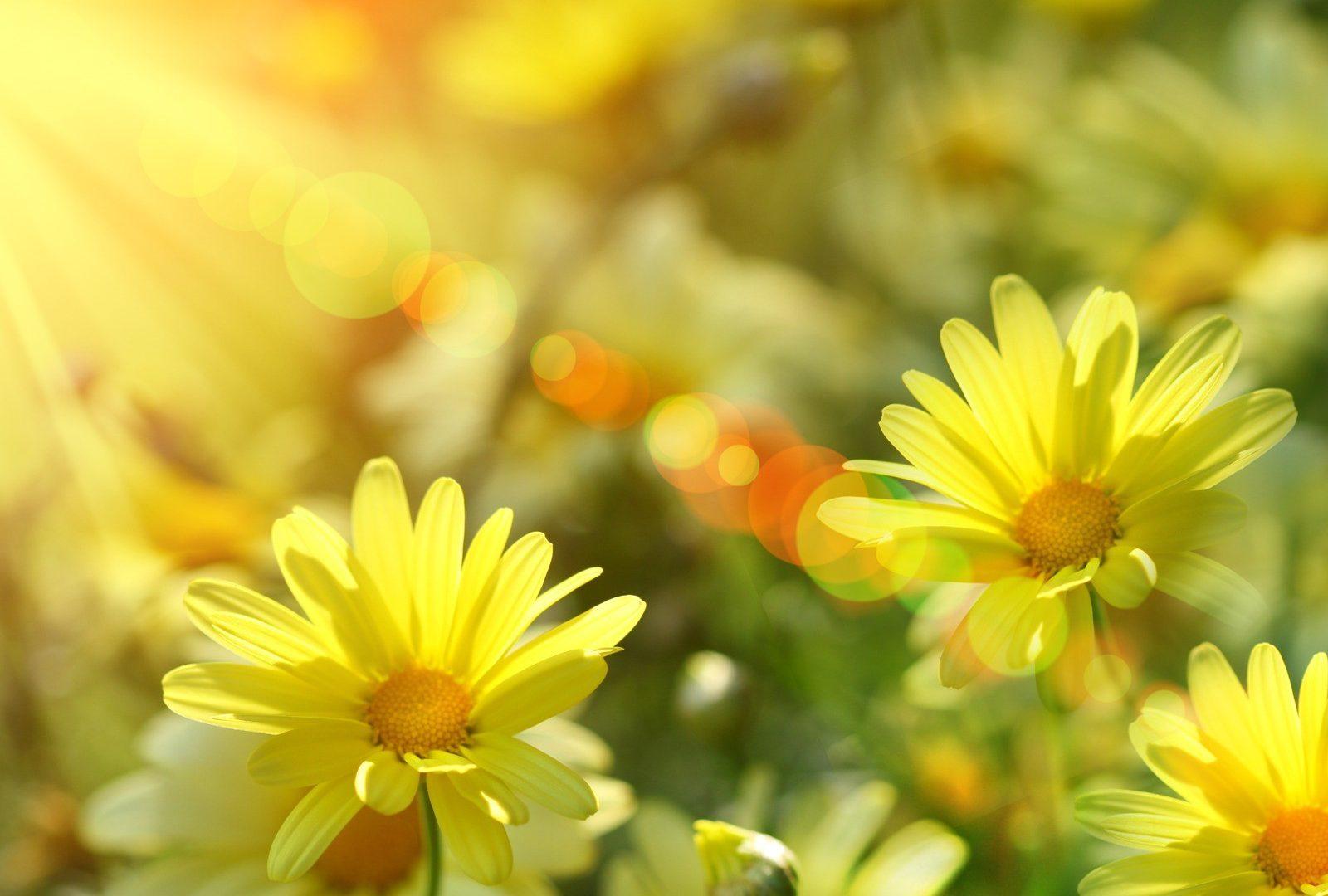 Tổng hợp những hình ảnh hoa xuyến chi màu vàng đẹp nhất
