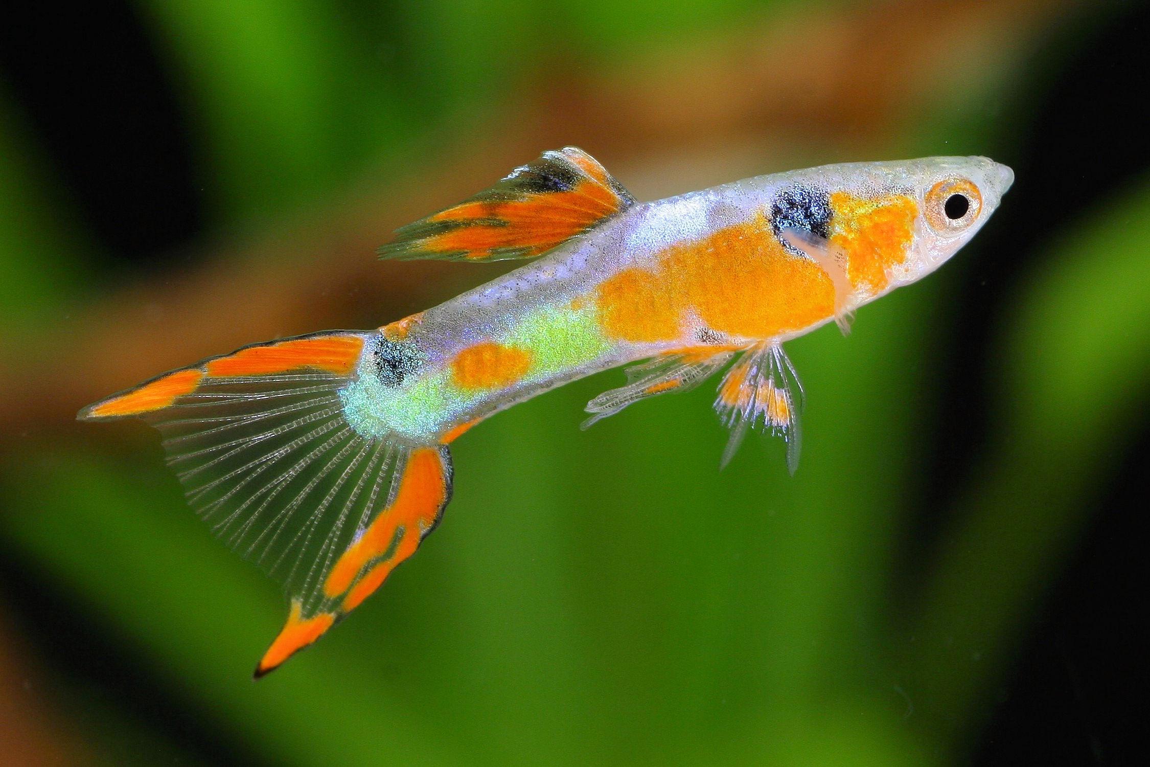 Hình ảnh cá 7 màu cảnh