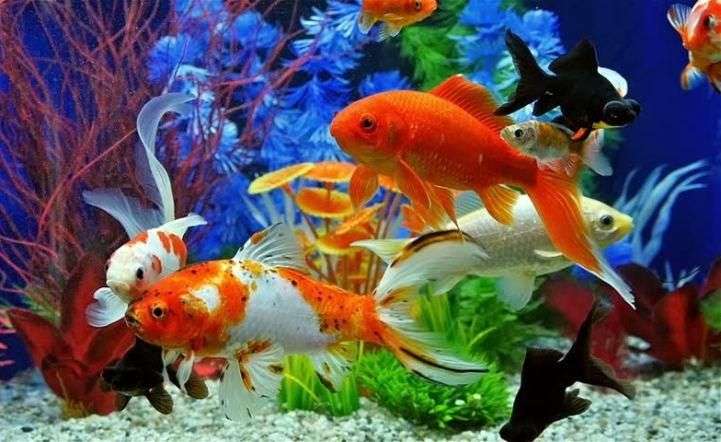 Hình ảnh cá cảnh đẹp và độc đáo