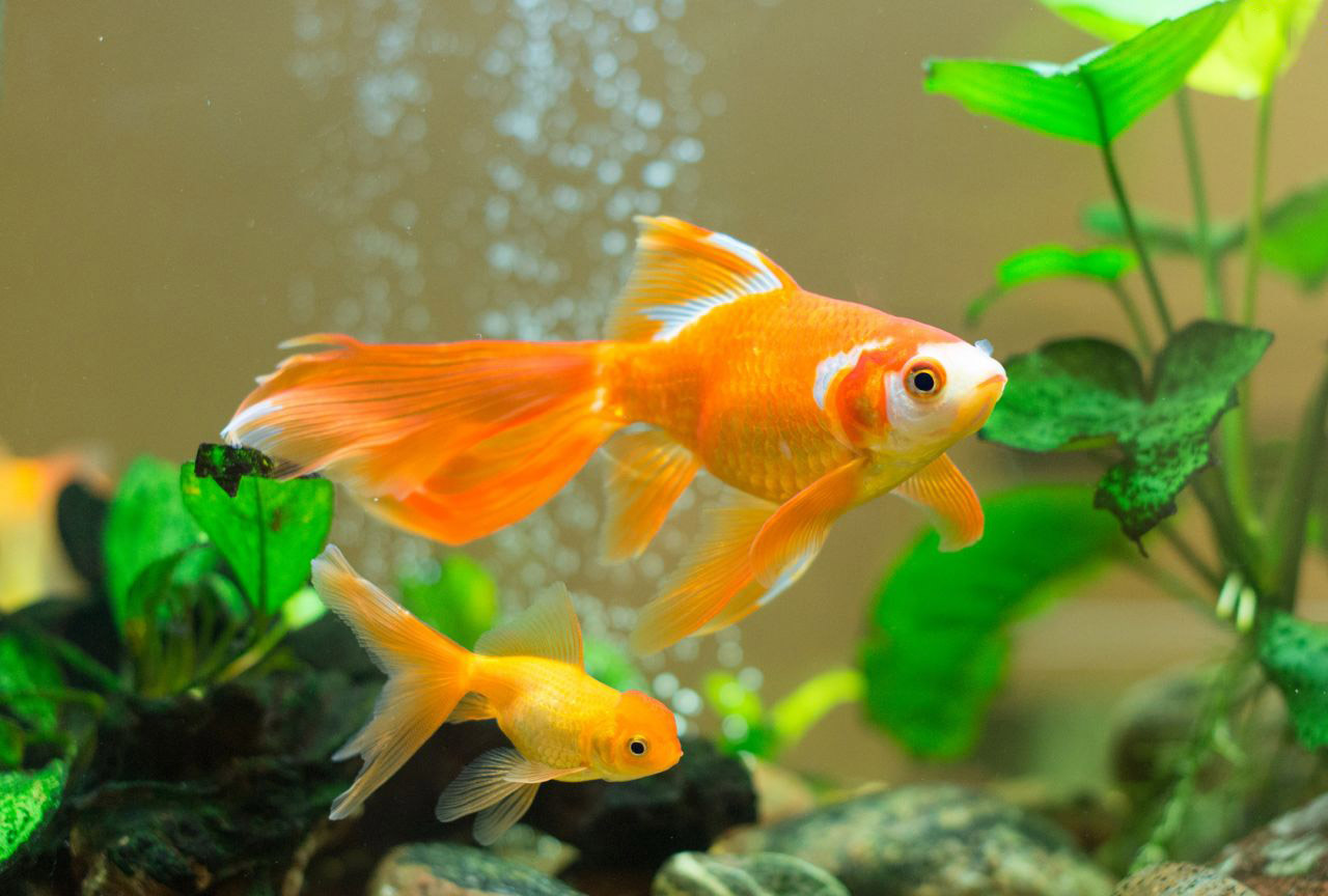 Hình ảnh cá cảnh vàng