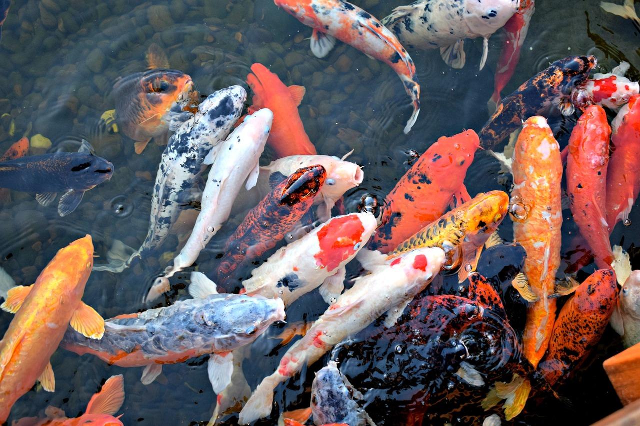 Hình ảnh cá chép cảnh