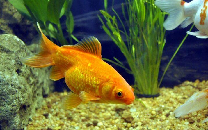 Hình ảnh cá vàng cảnh đẹp nhất