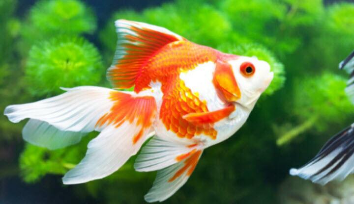 Hình ảnh cá vàng cảnh đẹp