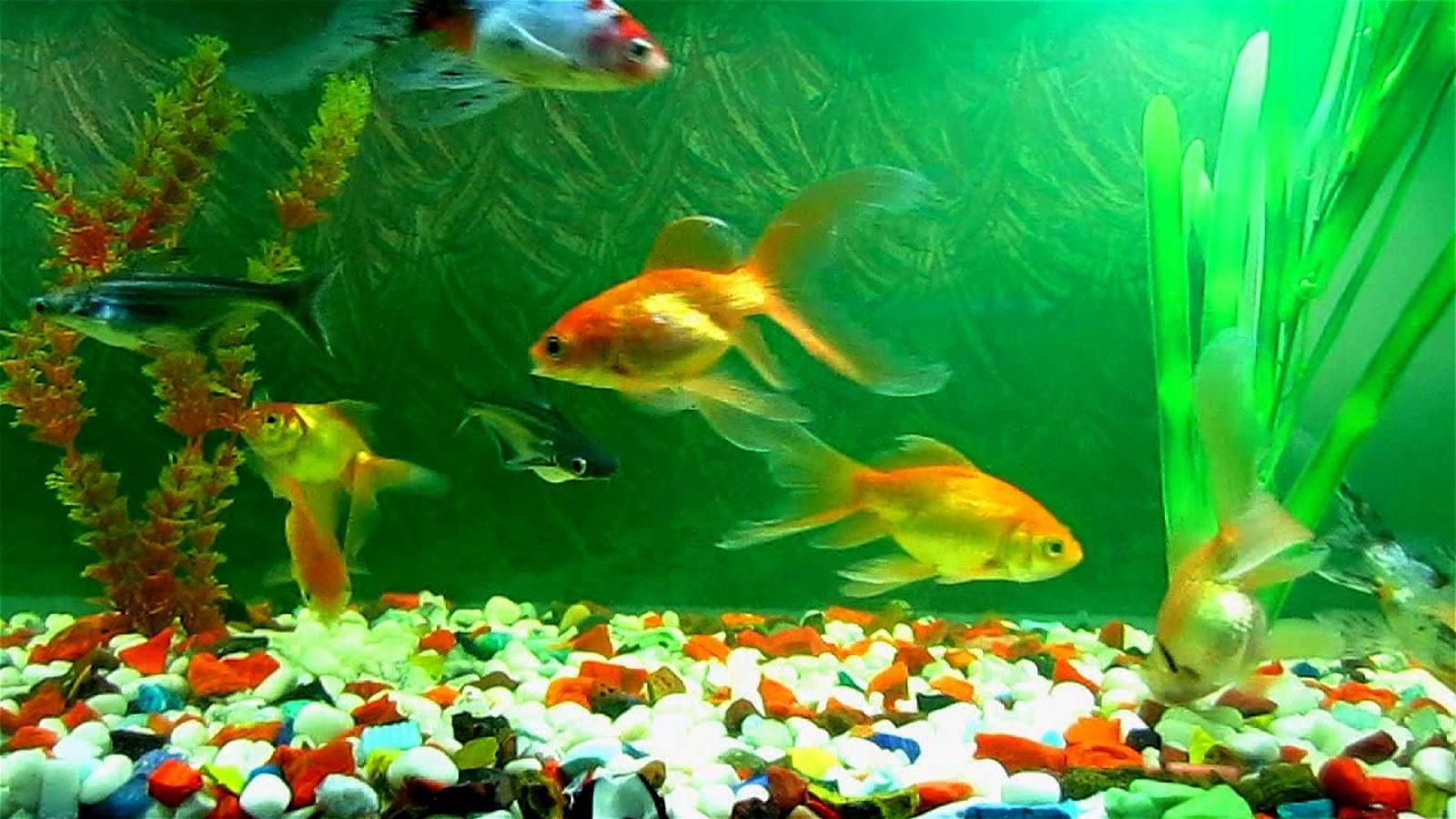 Hình ảnh đẹp về bể cá vàng