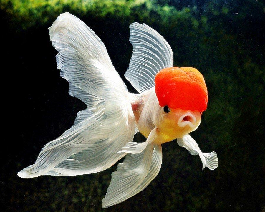 Hình ảnh đẹp về cá vàng cảnh