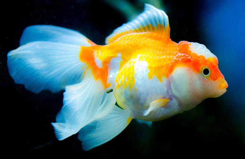 Hình ảnh đẹp về cá vàng