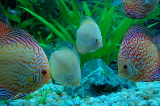 Hình ảnh những chú cá dĩa cảnh đẹp
