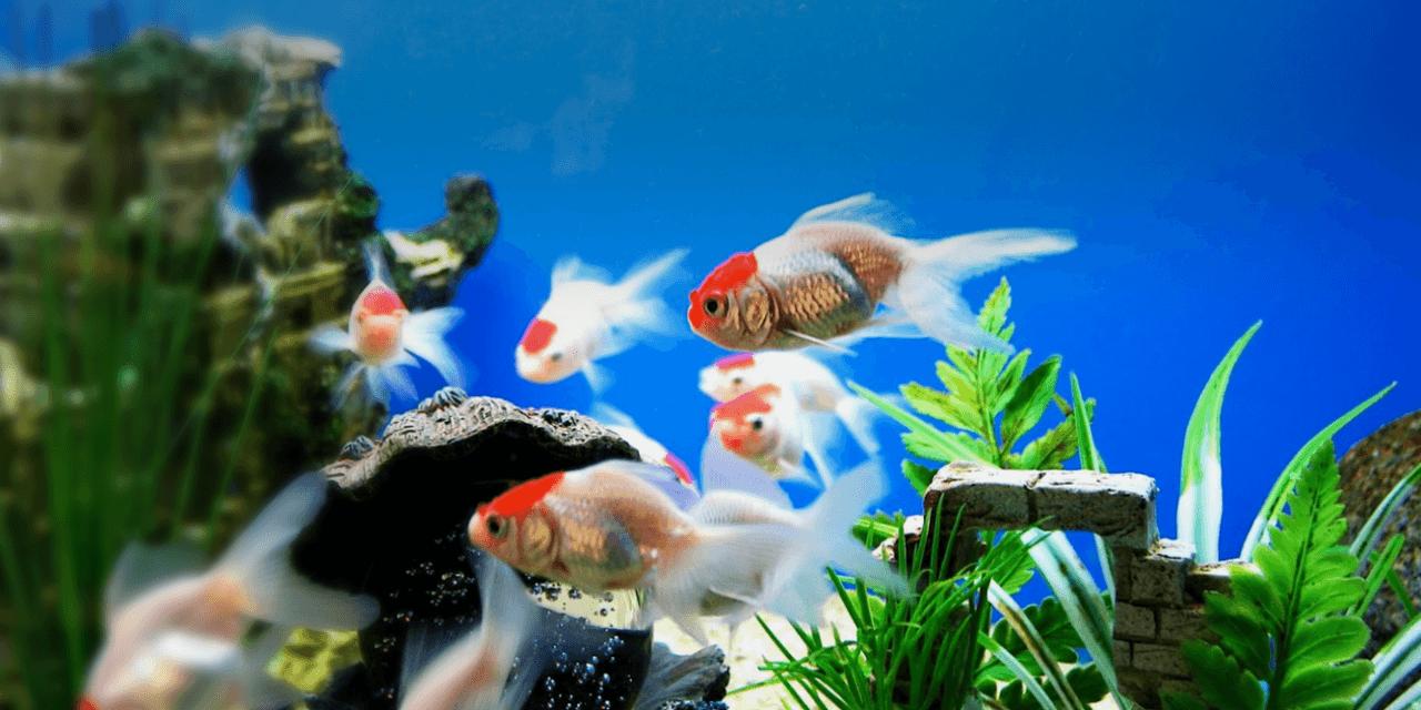 Hình ảnh những chú cá vàng cảnh đẹp nhất